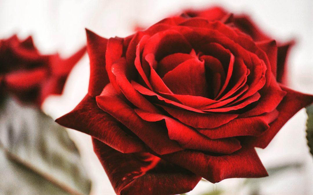 Pour un bonheur toute l'année, osez la rose éternelle